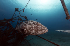 Malabar grouper in the tropical waters of the Red Sea. Royalty Free Stock Photo