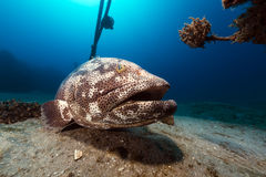 Malabar grouper the tropical waters of the Red Sea. Stock Images