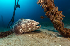 Malabar grouper the tropical waters of the Red Sea. Royalty Free Stock Photo