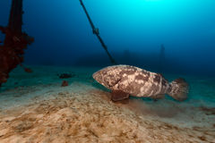 Malabar grouper the tropical waters of the Red Sea. Royalty Free Stock Photos