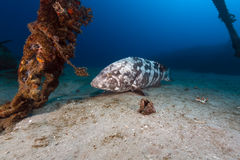 Malabar grouper the tropical waters of the Red Sea. Stock Photo