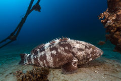 Malabar grouper the tropical waters of the Red Sea. Stock Photography