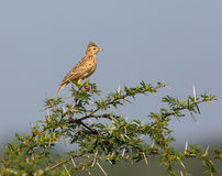 The Malabar lark perched on a Shailendra Tree. Stock Photos