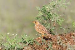 The Malabar lark perched on a Shailendra Tree. Royalty Free Stock Photo