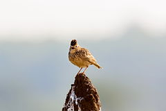 The Malabar lark perched on a Termite Mound. Royalty Free Stock Photography