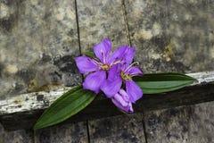 Malabar melastome flower Stock Image