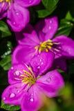 Malabar melastome flower Stock Images