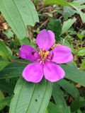 Malabar melastome (Indian rhododendron) pink Stock Photography