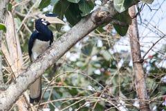 malabar pied för hornbill Arkivbilder