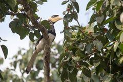 malabar pied för hornbill Royaltyfria Bilder