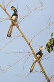 malabar pied för hornbill Arkivfoto