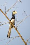malabar pied för hornbill Royaltyfri Foto