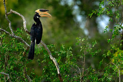 Malabar Pied Hornbill, Anthracoceros coronatus, fågel med den stora räkningen, skogar av Sri Lanka, Asien Djurlivplats från Sri L Royaltyfria Bilder