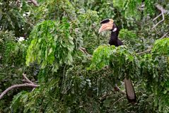 Malabar Pied-hornbill - Anthracoceros coronatus royalty free stock photography