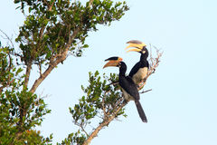 Malabar Pied Hornbill Stock Image