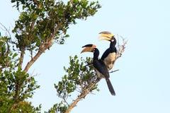 Malabar Pied Hornbill. (Anthracoceros coronatus) in Sri Lanka Stock Image