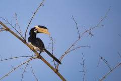 Malabar pied hornbill on bamboo. Malabar pied hornbill sitting on a branch Royalty Free Stock Images