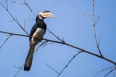 Malabar pied hornbill on bamboo. Malabar pied hornbill sitting on a branch Royalty Free Stock Image