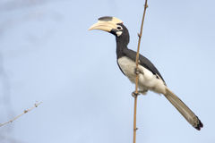 Malabar pied Hornbill. Canon 6D 1/2000 f5 ISO 400 400mm Royalty Free Stock Image