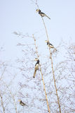 Malabar pied Hornbill Stock Photo