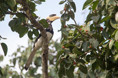 Malabar pied Hornbill Royalty Free Stock Images