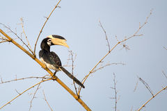 Malabar pied Hornbill. Canon 6D 1/2000 f5 ISO 400 400mm Royalty Free Stock Images