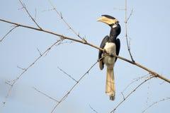 Malabar pied Hornbill Stock Images