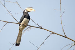 Malabar pied Hornbill. Canon 6D 1/2000 f5 ISO 400 400mm Royalty Free Stock Photography