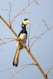 Malabar pied Hornbill. Canon 6D 1/2000 f5 ISO 400 400mm Royalty Free Stock Photo