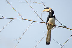 Malabar pied Hornbill Stock Photo