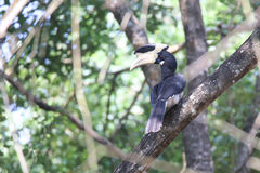 Malabar pied Hornbill. Canon 6D 1/2000 f5 ISO 400 400mm Stock Photo