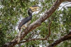 Malabar pied hornbill i Sri Lanka Royaltyfri Fotografi