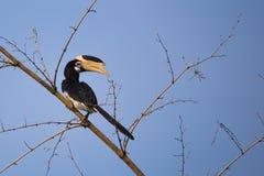 Malabar pied hornbill på bambu Royaltyfria Bilder