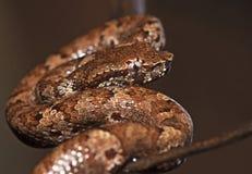 Malabar Pit Viper Arkivbild