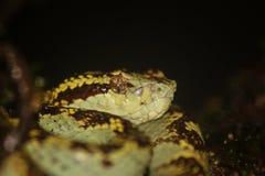 Malabar Pit Viper Arkivfoto