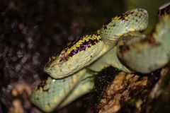 Malabar Pit Viper Immagini Stock