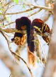 Malabar Reuzeeekhoorn of Ratufa indica in een bos Stock Foto