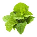 Malabar spinach Royalty Free Stock Photo