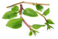 Malabar spinach Stock Photography