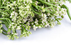 Malabar spinach or Ceylon spinach (Basella alba Linn.). Stock Photography