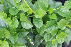 Malabar spinach Stock Images