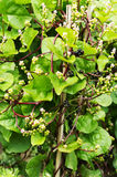 Malabar spinach Stock Photos