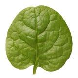 Malabar spinach Royalty Free Stock Image