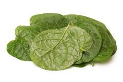 Malabar spinach Stock Image