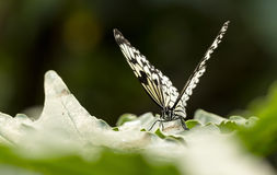 Malabar tree-nymph butterfly Stock Photo