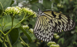 The Malabar Tree-nymph or Malabar Stock Photography