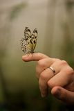 Malabar tree nymph perched on little finger Royalty Free Stock Photography