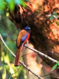 Malabar Trogon - mâle images libres de droits