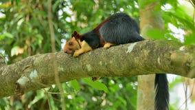 Malabar wiewiórczy relaksować na gałąź zdjęcia stock