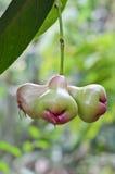 Malabarapfel auf Baum Stockbilder